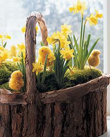 Daffodils & chicks