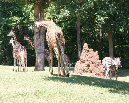 Giraffes w zebra