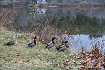 010907_ducks